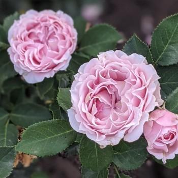 Роза  Лиана