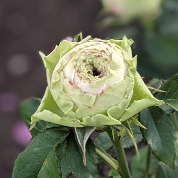 Роза  Петохайя