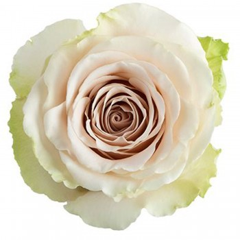 Роза Помпея